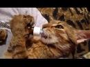 Кот под кайфом пьёт валерьянку