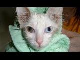 Купание няшного беленького ушастого котёнка