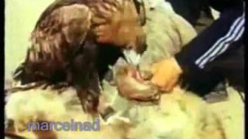 Охота на волка с беркутом mp4