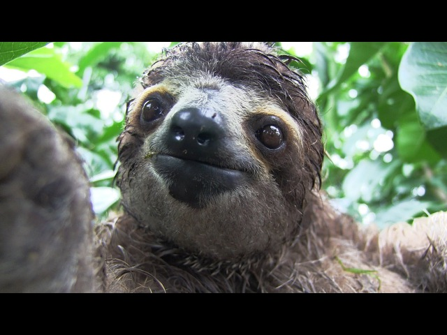 Inside a Baby Sloth Orphanage and Rescue Center | National Geographic