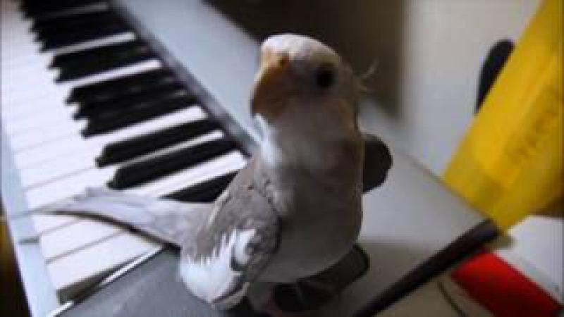 Сockatiel singing My Neghbor Totoro; Попугай корелла поет саундтрек Мой сосед Тоторо