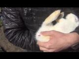 Как определить пол у месячных крольчат (в возрасте 1 месяца)