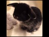 Карликовый вислоухий  декоративный кролик