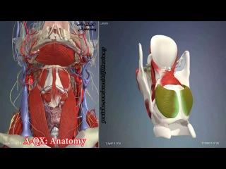 Мышцы гортани | 3D Анатомия человека | Внутренние органы
