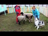 ТПИ-2. Австралийская овчарка Коттон Вингс Британия