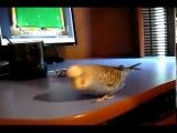 Попугай, который любит танцевать под Индийскую музыку