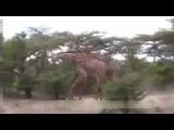 Жирафы дерутся шеями
