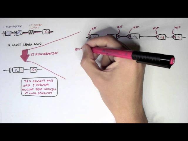 Antibody Somatic (VDJ) Recombination II
