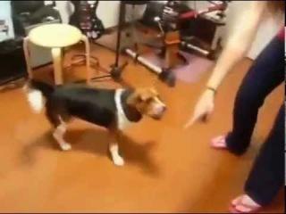 Очень умная собака. Приколы с животными