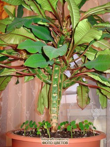 Араукария (обезьянье дерево): фото, виды и уход в домашних ...