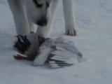 Собаки хаски - самые преданные! Очень трогательно! До слез!