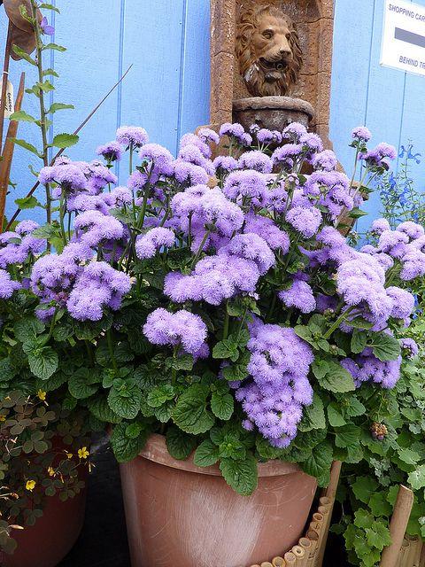 Однолетние цветы для сада — желанные гости. 12 любимых однолетников для сада
