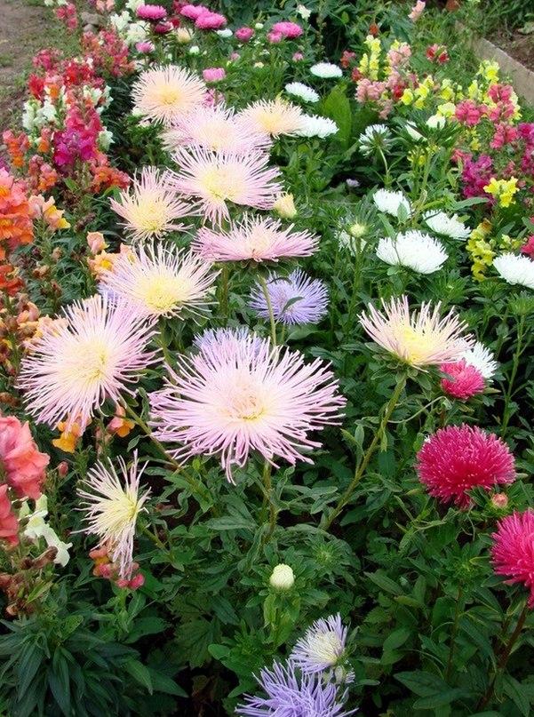 Однолетние цветы для сада — желанные гости. 12 любимых однолетников для сада. Астры