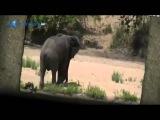 Слон спас буйвола от льва  Такое можно увидеть раз в жизни   Очень трогательно!   Уникальные кадры