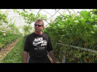 Технология выращивания клубники на малообъемной гидропонике