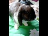 Буба кролик (вислоухий баранчик)