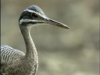 BBC: Жизнь птиц: Сигналы и песни / 6 серия