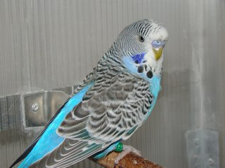 Как отличить попугая чеха от получеха