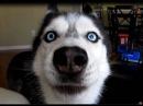 Mishka says Bye Bye - Dog Talking