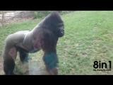 Восьмисантиметровое стекло трескается, когда горилла прыгает на него / When 8 inches of glass separates life and death