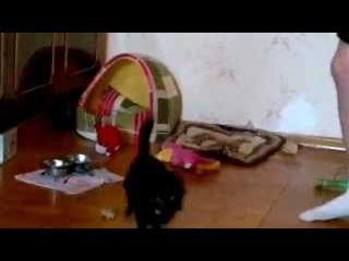 Маленькая собачка Чиха (чихуахуа) бодро защищает свою будку. Chihuahua defends his booth