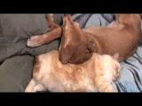Кот пукнул в морду собаке  Fat Cat farts in Dogs face