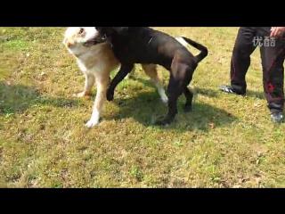 Собачьи бои тоса-ину vs сао алабай