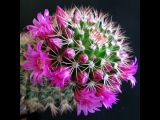 Как цветут кактусы - яркое зрелище. cactus blossom.
