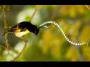 Чешуйчатая райская птица / King of Saxony Bird-of-paradise / Pteridophora alberti