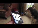Поющая и говорящая собака породы Хаски, по кличке Мишка