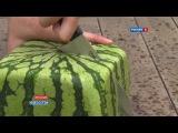 Квадратные арбузы Японии  Square watermelons Japan