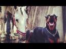 The Doberman Horse Whisperer