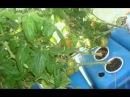 Огурцы  и томаты на гидропонике 2 часть