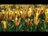 Тюльпаны,тюльпаны,тюльпаны....