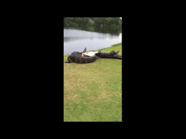Gator fight on golf course