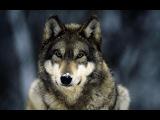 Документальный фильм про волков Documentary about wolves.