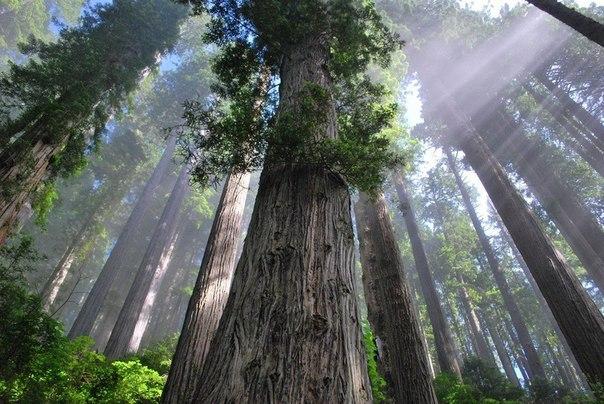 Лес в Национальном парке Редвуд,