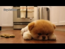 Boo - The Worlds Cutest Dog - Greatest Hits! ( All Videos HQ ) - MUST SEE!