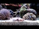 strombus luhuanus snails mating