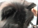 Grooming a Chow Chow.  Take a Free Test Drive.  www.OnlineGroomingSchool.com