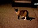 Кот - клептоман из Калифорнии украл более 600 вещей особенно он любит носки, обувь и нижнее белье. The Klepto Kitty Must Love