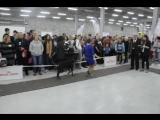 доберман 8 Монопородная выставка собак ранга ПК (02.05.2015) г. Сургут