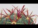 Ferocactus latispinus - Teufelszungen-Kaktus, Devils-Tongue Cactus