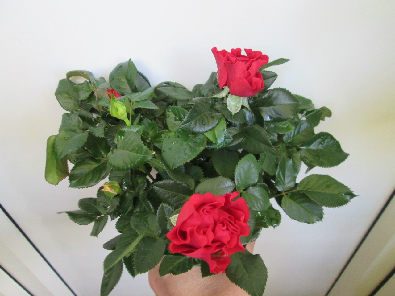 комнатная миниатюрная роза и уход за ней