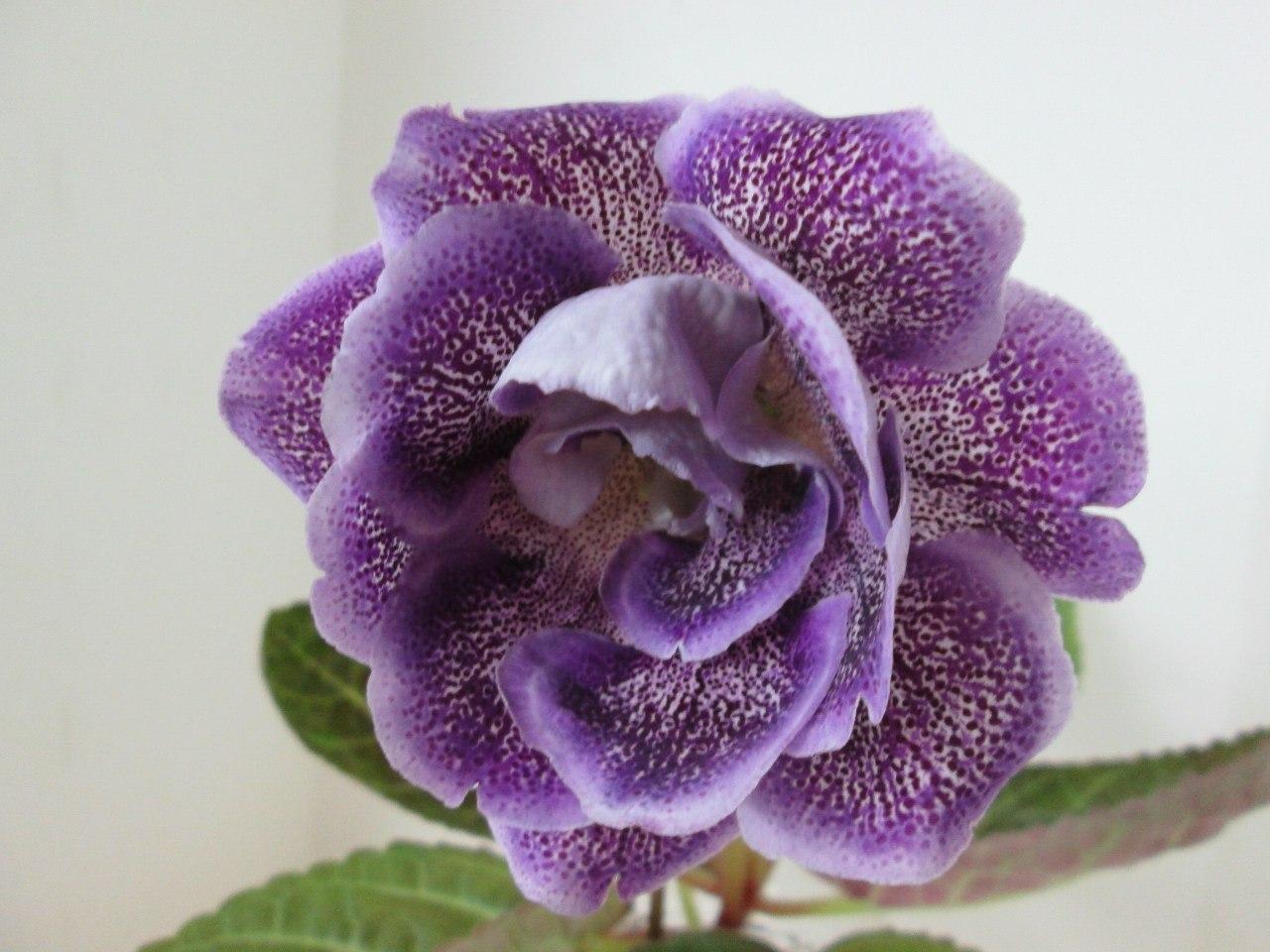 Глоксиния цветок луны фото