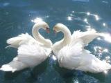 Лебедь белая (Юлия Михальчик)