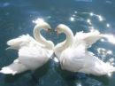 Лебедь белая Юлия Михальчик