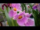 Орхидея Мильтония, цветущая Мильтония. Орхидеи - Ванда, Фаленопсис, Дендробиум, Камбрия, Цимбидиум.