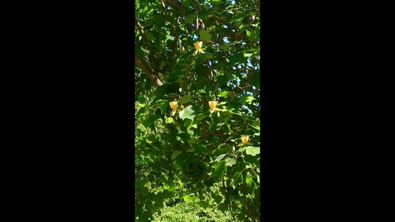Тюльпанное дерево.Умань.Софиевский парк.