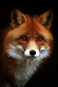 Лисичка Картинки Рыжая Лисичка   ВКонтакте